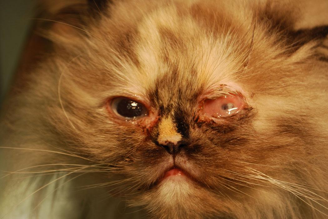 Symblepharon der Katzenwelpen