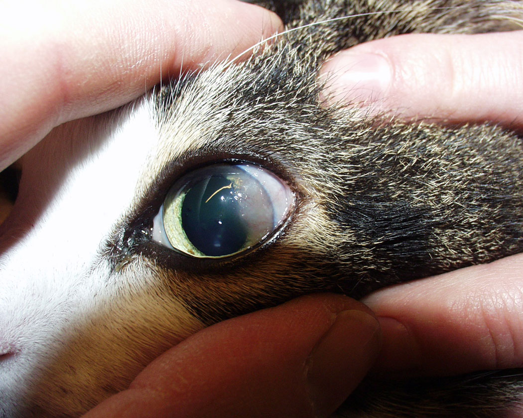 Virusinfektion Katze